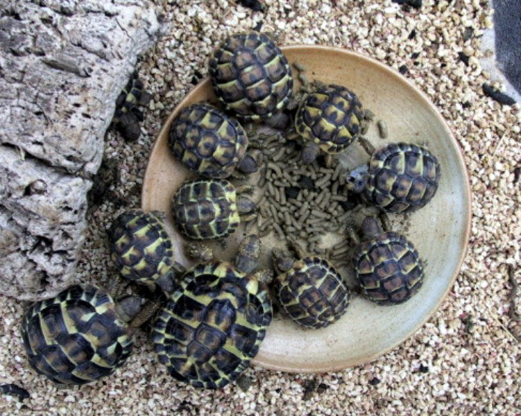 Bebes Tortues De Hermann